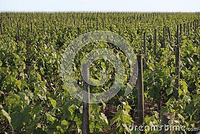 Vineyard in Pomerol