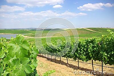 Vineyard at Portugal,