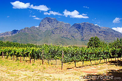 Vineyard in province West Cape(South Africa)