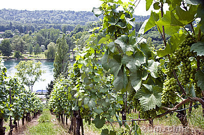 Vineyard at the Rhine river