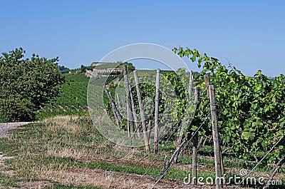 Vineyard in Rhineland Palatinate