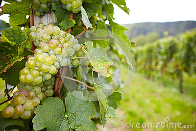Vineyard with riesling wine grapes