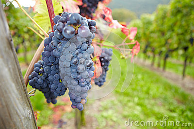 Vineyard with ripe grapes for red