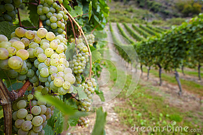 Vineyard with ripe white vine