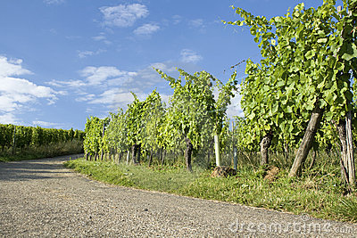 Vineyard, route du vine in Alsace. France.
