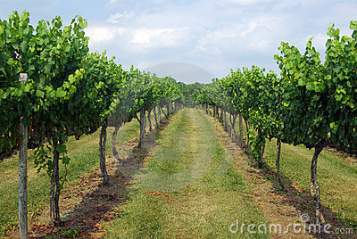 Vineyard Row