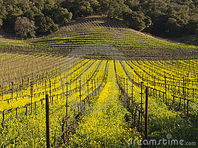 Vineyard rows in the Napa Valley