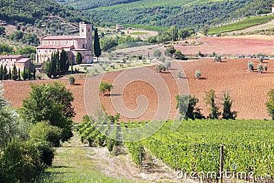 Vineyard in Sant Antimo, Tuscany, Italy