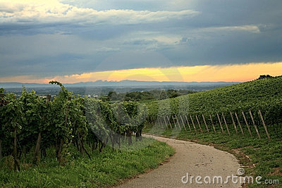 Vineyard in Schwarzwald