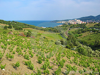 Vineyard and sea