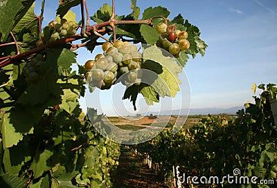 Vineyard in Serbia