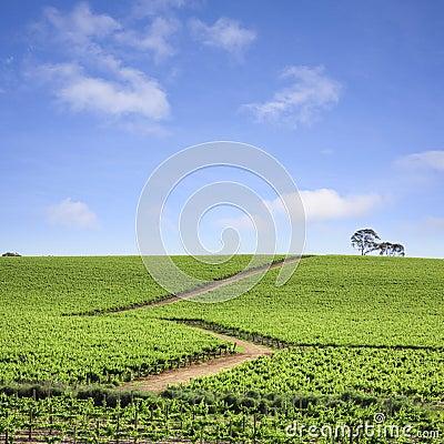 Vineyard South Australia