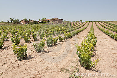 Vineyard in spain
