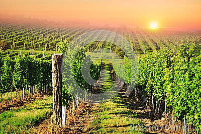 Vineyard sun sunset