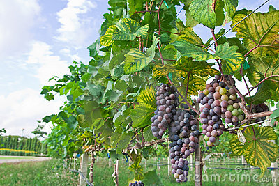 Vineyard in Thailand