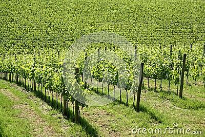 Vineyard in Tuscany (Italy)