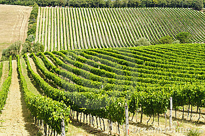Vineyard in Val d Orcia
