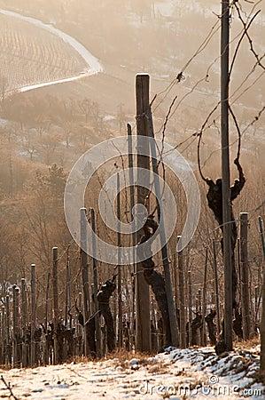 Vineyard with vines in winter dawn