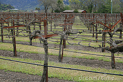 Vineyard, Wine Making Business