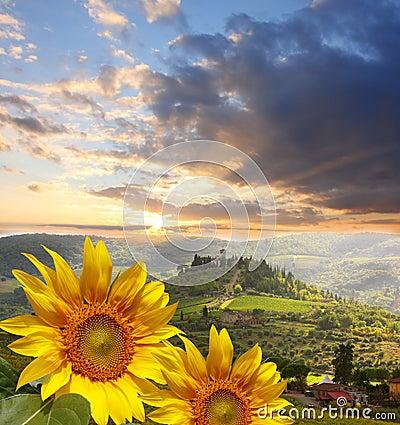 Free Vineyard With Sunflowers In Chianti, Tuscany Stock Photo - 25360980
