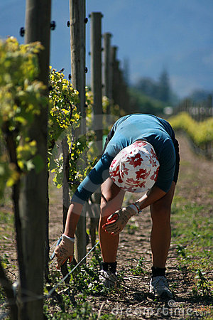 Vineyard Worker Bud Rubbing