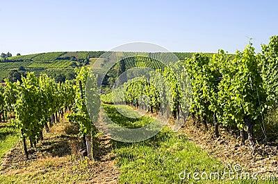 Vineyards of Alsace