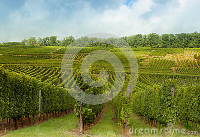 Vineyards on Alsatian hills