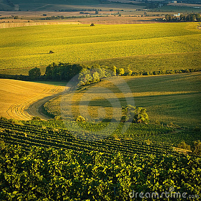 Vineyards in august V