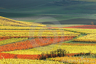 Vineyards in autumn colors. Germany