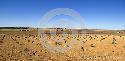Vineyards in Castilla la Mancha, Spain.