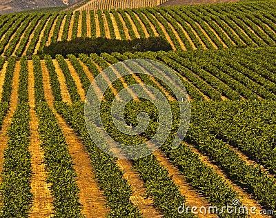 Vineyards, Central Coast California