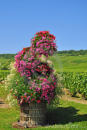 Vineyards in the french champagne region