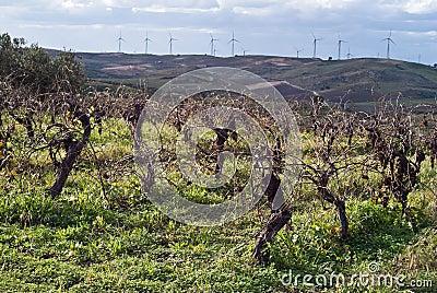 Vineyards in invern harvest