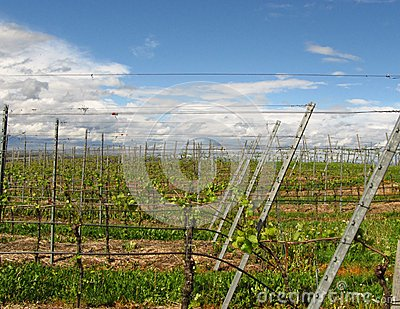Vineyards of the Kaiserstuhl region