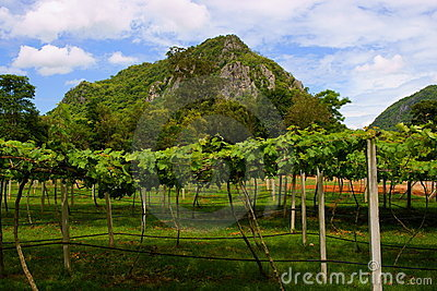 Vineyards in Khao Yai, Thailand.