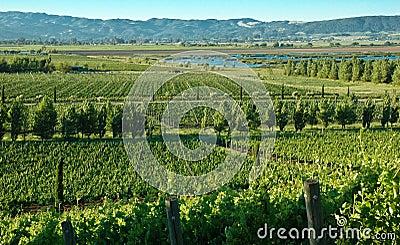 Vineyards in Napa, California