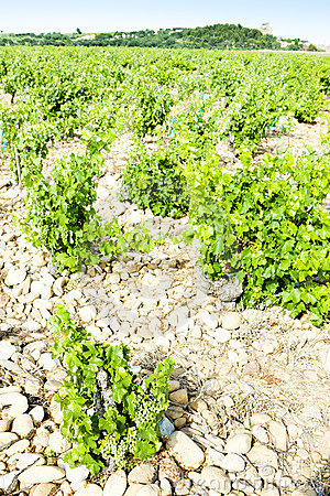Vineyards, Provence, France