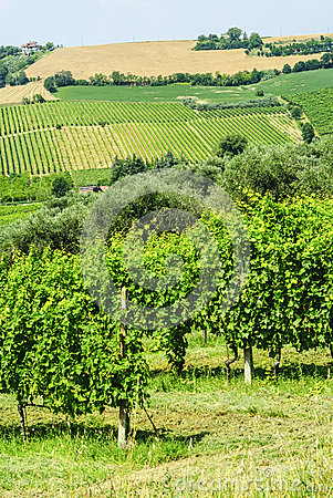 Vineyards In Romagna Stock Image - Image: 28649001