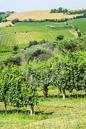 Vineyards in Romagna