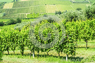 Vineyards in Romagna