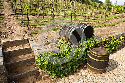 Vineyards in troja