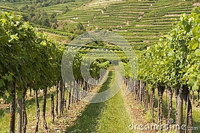 Vineyards of Wachau area, Austria
