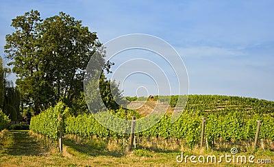 Vineyards, Walla Walla Wine Country, Washington