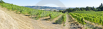 Vineyards in the Willamette Valley Oregon