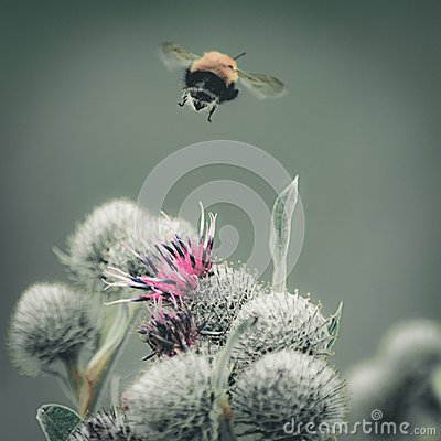 Free Vintage Faded Close-up Image Of A Bumblebee Flying Away From Purple Great Globe Thistle Flower, Blurred Green Background Stock Images - 100163234