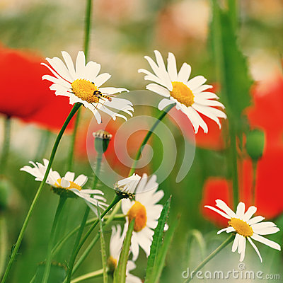 Free Vintage Field Of White Camomiles Stock Image - 42450441