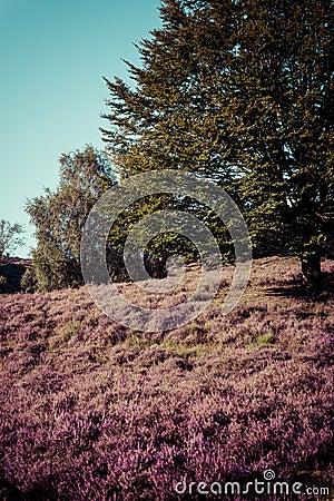 Vintage heathland