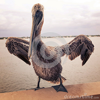 Free Vintage Pelican Stock Image - 27724051