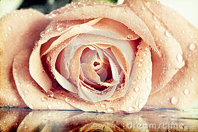 Vintage photo of pink rose