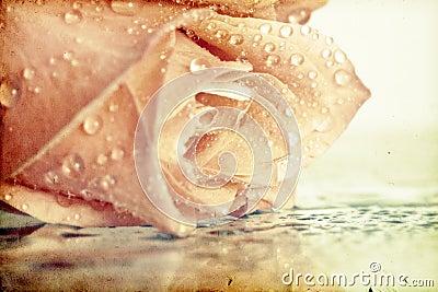 Vintage photo of pink rose